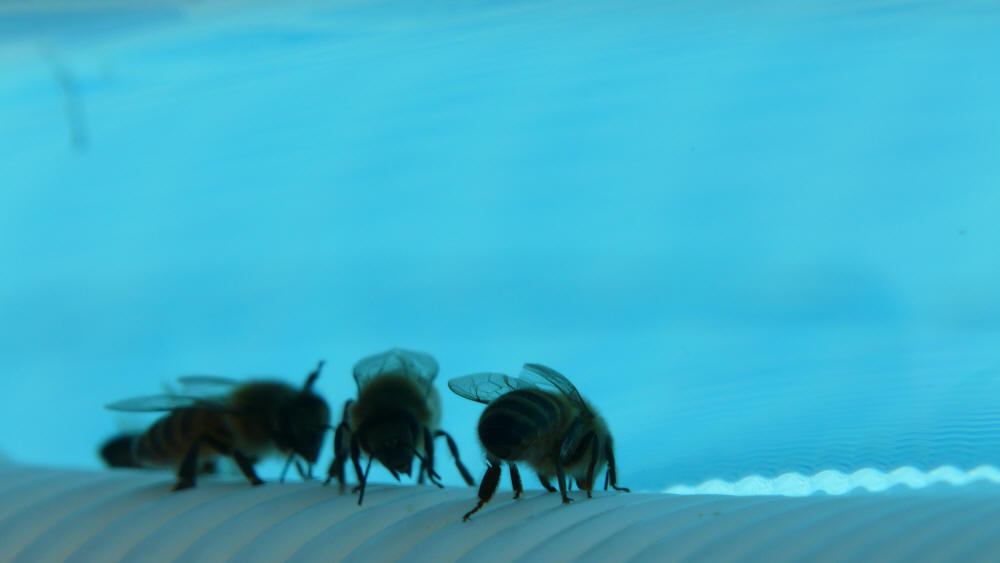 bees drinking at the waterhole